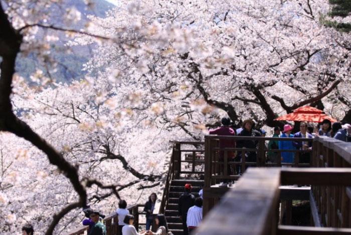 Jinhae là một trong những địa điểm ngắm hoa anh đào đẹp nhất Hàn Quốc. Ảnh: dulichhanquoc.com.vn