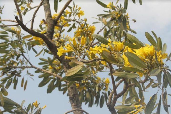 mùa hoa chuông vàng Sơn La