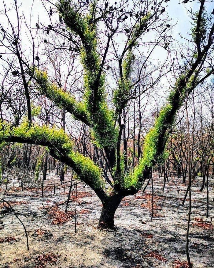sự hồi sinh nơi những cánh rừng cháy ở Australia