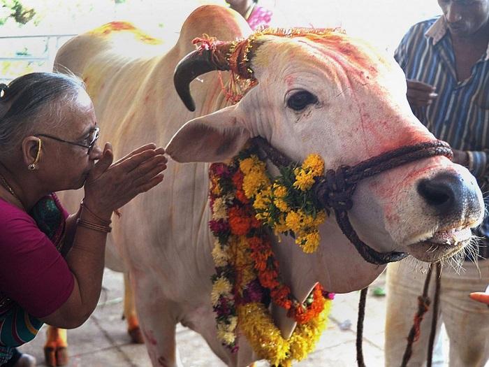 Bò là loài vật linh thiêng đối với người Ấn Độ