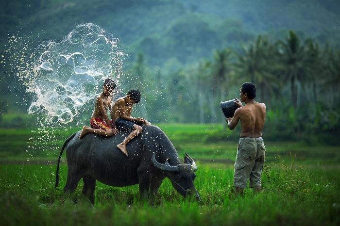 Việt Nam - Trâu nước: