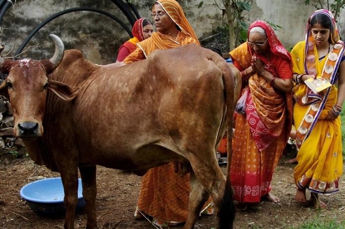 Do đó, nhìn chung, bò có một vị trí nhất định trong mắt người Ấn Độ và việc giết, ăn thịt nó là cấm kỵ.