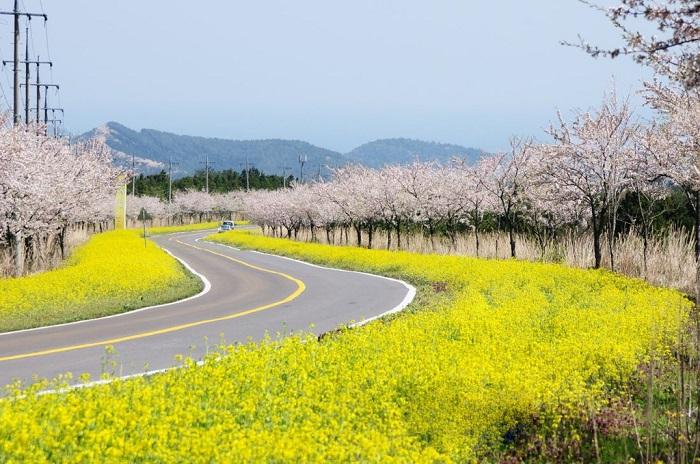4 trải nghiệm mùa xuân tại jeju bạn sẽ hối tiếc nếu bỏ lỡ - 1
