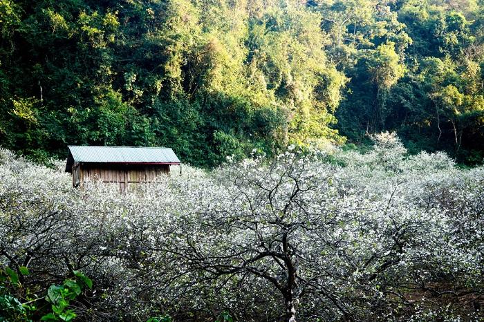 mùa hoa mận