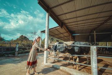 Đi trang trại bò sữa Mộc Châu Daily Farm: Trải nghiệm 'trồng rau, nuôi bò' và ti tỉ thứ hay ho khác