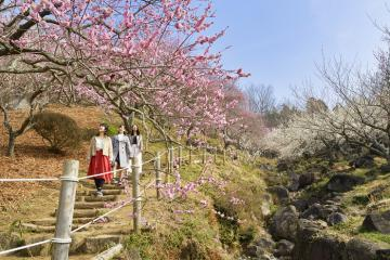 Du lịch Nhật Bản đón mùa xuân lãng mạn tại lễ hội hoa mơ ở Mito - Ibakari