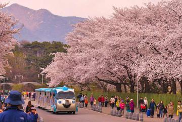 Vi vu đến 3 lễ hội xuân tại Hàn Quốc thỏa sức ngắm hoa anh đào