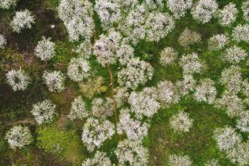 Mùa hoa Mộc Châu những ngày giáp Tết: hoa mơ, hoa mận nhuộm trắng cả rừng