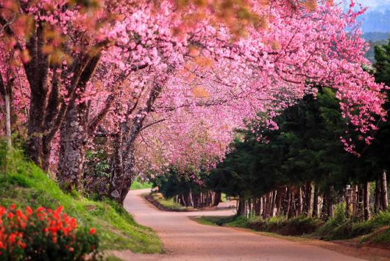 Vi vu Thái Lan ngắm rừng hoa anh đào nở rợp trời ở Chiang Mai