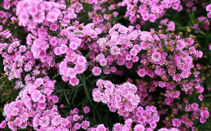 vườn hoa thạch thảo