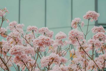 Đẹp ngỡ ngàng với sắc hoa kèn hồng nở sớm trên những con phố Sài Gòn