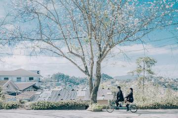 Mùa hoa ban Đà Lạt nở rộ trắng trời 'đẹp như phim Hàn'