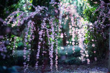 Mê mẩn với sắc hoa anh đào nở sớm ở Nhật Bản