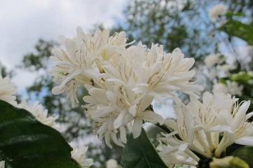 Mùa hoa cà phê Tây Nguyên đang nở rộ, đất trời nhuốm màu trắng tinh khôi