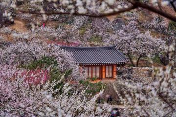 Đây là những điểm ngắm hoa mơ đẹp nhất Nhật Bản, background cho bạn shoot hình lung linh