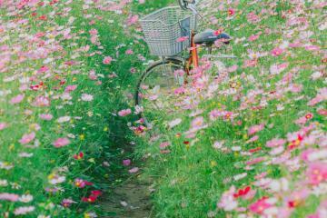 'Không thể cầm lòng' trước vườn hoa Khe Chè Quảng Bình đẹp lịm tim