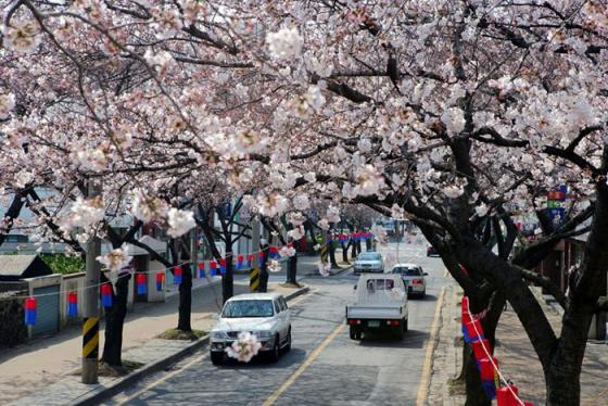 5 lễ hội hoa mùa xuân Hàn Quốc cho cảnh đẹp như mơ