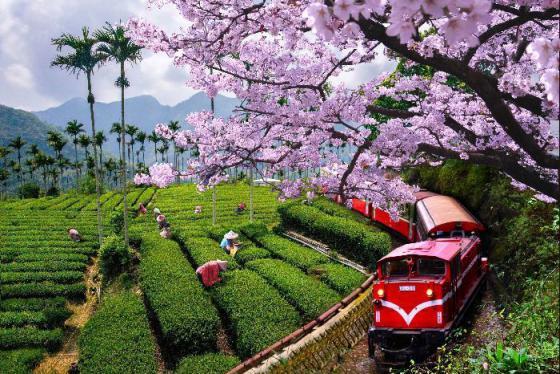 Ngắm mùa hoa anh đào Đài Loan tại 7 địa điểm siêu lung linh