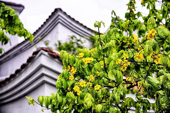hoa mai vàng Yên Tử Quảng Ninh