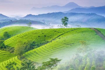 Ngắm mây vờn núi ở đồi chè Long Cốc, Phú Thọ trong nắng sớm