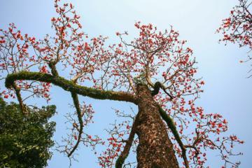 Về chùa Thầy, Hà Nội ngắm hoa gạo nở rực nhuộm thắm một góc trời