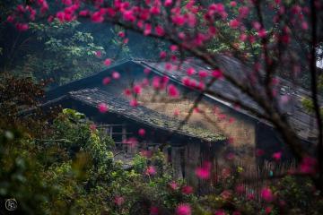 Đỉnh Mẫu Sơn nhuộm thắm hoa đào rừng
