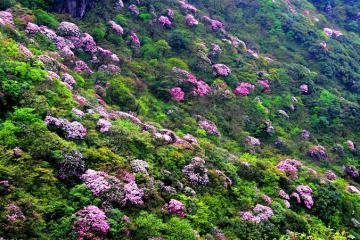 Hoa đỗ quyên nở thắm trên đỉnh rừng già Putaleng Lai Châu rồi, bạn đã check in chưa?