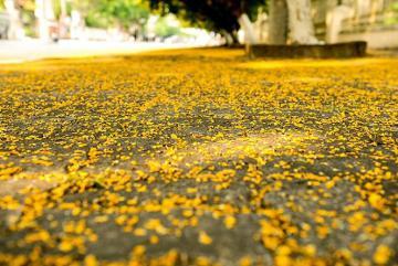 Lặng ngắm mùa hoa sưa nở vàng rực ở xứ Quảng mùa Covid-19