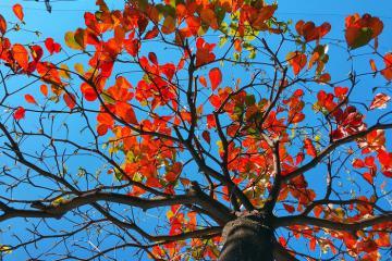 Si mê trước những cây bàng lá đỏ nhuộm thắm trời Hội An