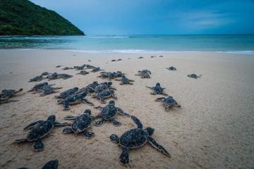 Đến Côn Đảo để một lần 'đỡ đẻ' cho các cô rùa