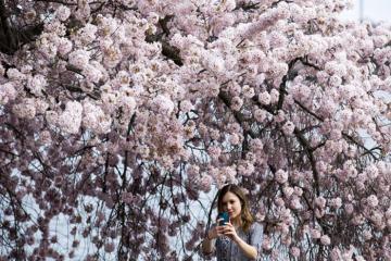 Hoa anh đào ở Mỹ khoe sắc rực rỡ bất chấp Covid-19