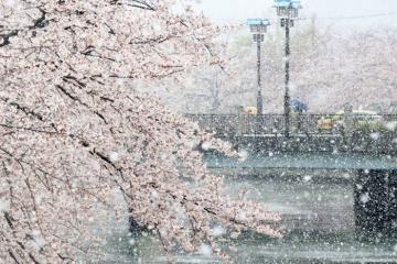 Tuyết rơi bất thường phủ trắng hoa anh đào tại Tokyo