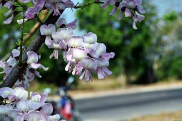 Xao xuyến sắc hồng hoa đỗ mai Vũng Tàu