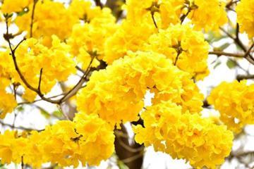 Rực rỡ mùa hoa chuông vàng ở Sơn La