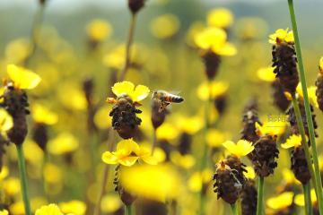 Hai loài hoa lạ ở vườn quốc gia Tràm Chim Đồng Tháp đang âm thầm rực nở