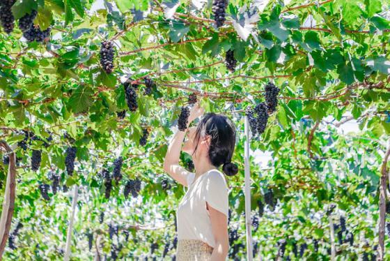 Con đường nho ở Ninh Thuận: Vừa ăn trái ngọt vừa ngắm cảnh đẹp như tranh