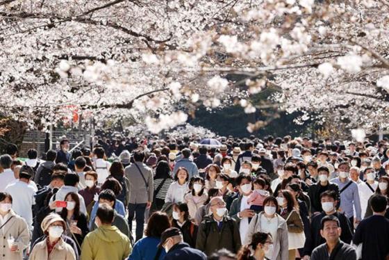 Bất chấp cảnh báo về Covid-19, người Nhật vẫn tưng bừng đón mùa hoa anh đào nở