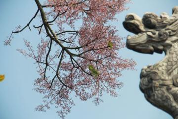 Ngắm hoa ngô đồng khoe sắc thắm ở Đại Nội Huế