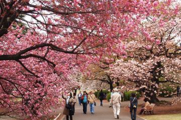 Hàn Quốc hủy lễ hội hoa anh đào để phòng dịch Covid-19