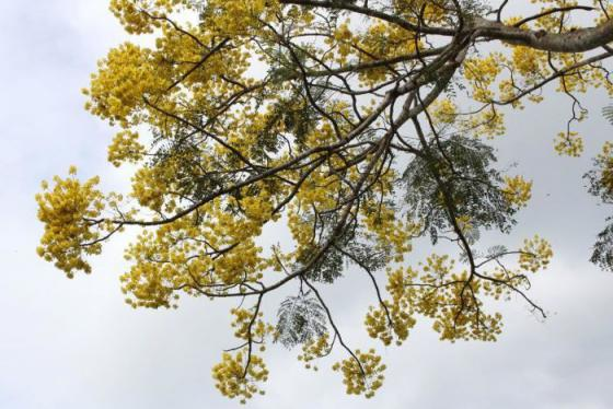 Mùa phượng vàng khoe sắc rực rỡ trên phố Huế mộng mơ
