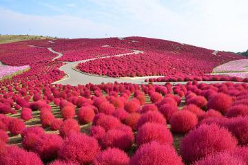 Đến Nhật Bản vào mùa thu, đừng bỏ qua những lễ hội hoa độc đáo
