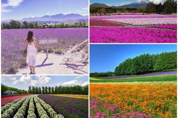 Những cánh đồng hoa ở Nhật Bản đẹp ngỡ như khung cảnh trời Âu
