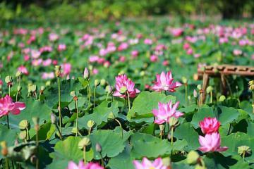 Đầm sen nở rộ ở Ninh Bình giữa trời thu