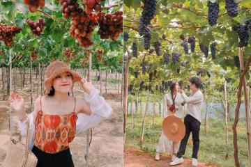 Đến Ninh Thuận, đừng quên ghé thăm 2 vườn nho nổi tiếng