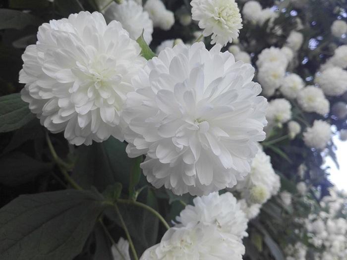 hoa cúc núi