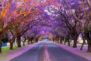 Sắc hoa xuân rực rỡ rợp trời nước Úc