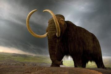 Voi ma mút trên đảo Bắc Cực sống lâu hơn 7.000 năm so với voi trên đất liền