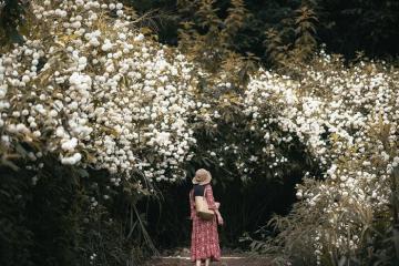 Mùa hoa cúc núi Chiang Mai 'đốn tim' mọi du khách
