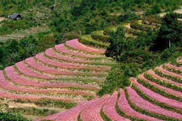 Địa điểm check-in mùa hoa tam giác mạch ở Hà Giang