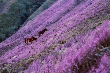 Lên đỉnh Tà Chì Nhù, Yên Bái ngắm đồi hoa tím đẹp tựa trời Tây